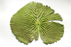 Big green lotus leaf Stock Image