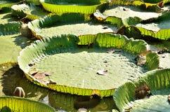 Big green Lotus Royalty Free Stock Photography