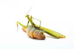 Big green Mantis praying and eating on white Stock Image