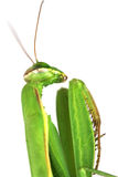 Big green mantis Stock Images
