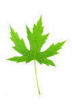 Big green maple leaf Royalty Free Stock Images