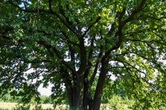 Big green oak stock images