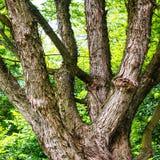 Big green oak tree Royalty Free Stock Image