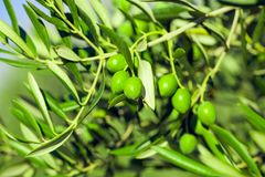 Big green olives on a branch of olive tree - outdoors shot. Big green olives on an olive tree branch - outdoors shot Stock Images