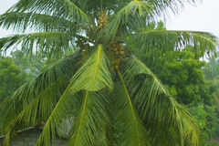 Big green palm with big wide leaves Royalty Free Stock Image