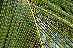 Big and green palm leaf close-up detail photo Royalty Free Stock Photography