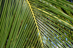 Big and green palm leaf detail photo Royalty Free Stock Photography