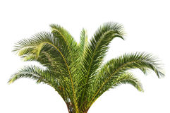 Big green Palm tree isolated on white background. Close royalty free stock photography