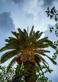 Big green palm tree with storm clouds looming over - shot from below royalty free stock images