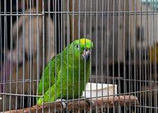 Big green parrot (Amazona) on pet market Stock Photos