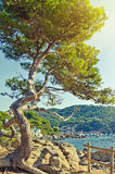 Big green pine tree on the seaside cliff. Summer landscape. Cost Stock Photography