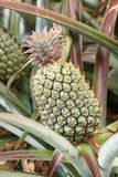 Big green pineapple Royalty Free Stock Photos
