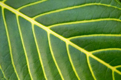 Big green plant leaf macro Stock Photography