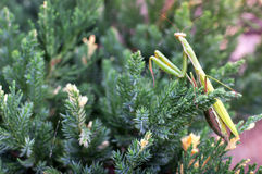 Big green praying mantis on a green plant Stock Image