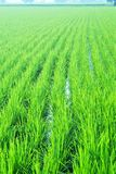 Green paddy filed in morning time. Big green rice filed in thailand morning stock photo