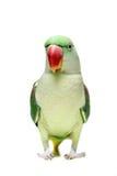 Big green ringed or Alexandrine parakeet on white. Big green ringed or Alexandrine parakeet - Psittacula eupatria - female isolated over white background Stock Images