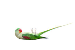 Big green ringed or Alexandrine parakeet on white Royalty Free Stock Photo