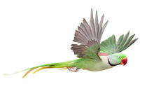 Big green ringed or Alexandrine parakeet on white Royalty Free Stock Photos