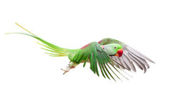 Big green ringed or Alexandrine parakeet on white. Big green ringed or Alexandrine parakeet - Psittacula eupatria - male isolated over white background Stock Photos