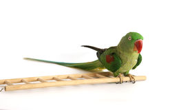 Big green ringed or Alexandrine parrot Stock Photography
