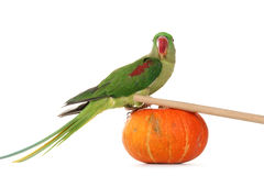 Big green ringed or Alexandrine parrot Stock Image