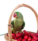 Big green ringed or Alexandrine parrot Royalty Free Stock Photography