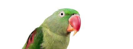 Big green ringed or Alexandrine parrot Stock Photos