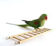 Big Green Ringed Or Alexandrine Parrot Stock Photo