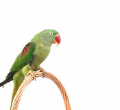 Big Green Ringed Or Alexandrine Parrot On White Background Stock Images