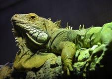 Big green scaly Iguana basking on a tree branch Stock Image