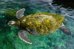 Big green sea turtle, Israel Royalty Free Stock Images
