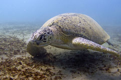 Green sea turtle. Big green sea turtle, Red sea Egypt Stock Images
