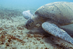 Green sea turtle. Big green sea turtle, Red sea Egypt Stock Photography