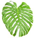The big green sheet Monstera Stock Photo