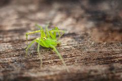 A big green spider on a wooden background, soft focus royalty free stock photos