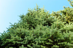 Big Green spruce. Bottom view. Stock Images