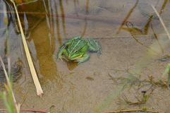 Big green toad sitting in a pond royalty free stock photography