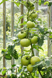 Big green tomatoes Stock Image