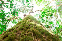 The big green tree along the big forest. The up view of big tree Royalty Free Stock Photo