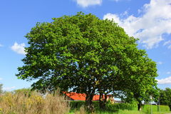 Big green tree and blue sky backgroung Stock Photos