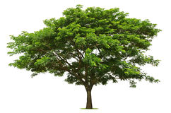 The big green tree is bright on the white. Background Stock Photo