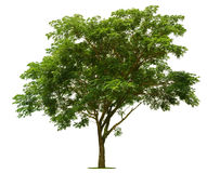 The big green tree is bright on the white. Background Royalty Free Stock Photos