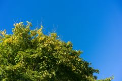 Big green tree with clear blue sky background Royalty Free Stock Photo