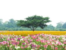 Big green tree in colorful flower fields on raining days. Cleome spinosa and cosmos meadow Royalty Free Stock Images