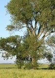 Big Green Tree. Big tree on a field Royalty Free Stock Photos