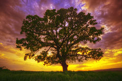 Big green tree in a field, dramatic clouds Royalty Free Stock Photography