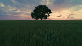 Big green tree in a field, dramatic clouds and  sunset, video. Big green tree in a field, dramatic clouds and colorful sunset, video stock video footage