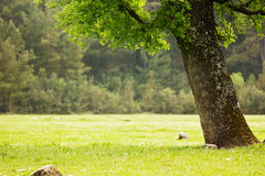 Big green tree in the field with grass Stock Photos