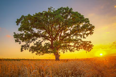 Big green tree in a field Stock Images
