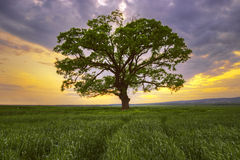 Big green tree in a field Stock Photo